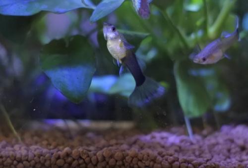 グッピー ネオンテトラ 混泳 水質 餌