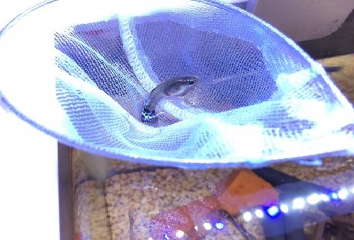 グッピー 稚魚 隔離 方法 タイミング