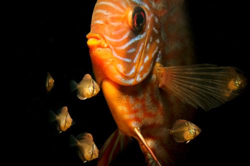ディスカス 幼魚 餌 回数