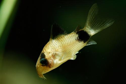 コリドラス 熱帯魚 寿命
