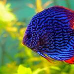 熱帯魚「ディスカス」に合う水草は何!?