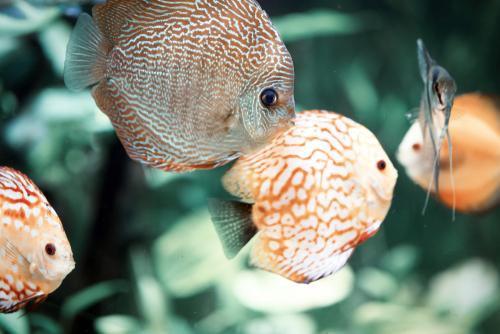 ディスカス 繁殖 水温 水質