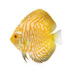 熱帯魚「ディスカス」の平均値段はどれくらい!?