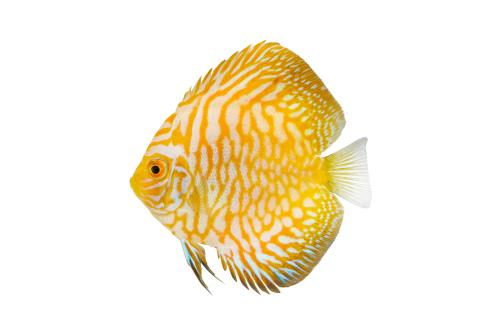 ディスカス 熱帯魚 値段
