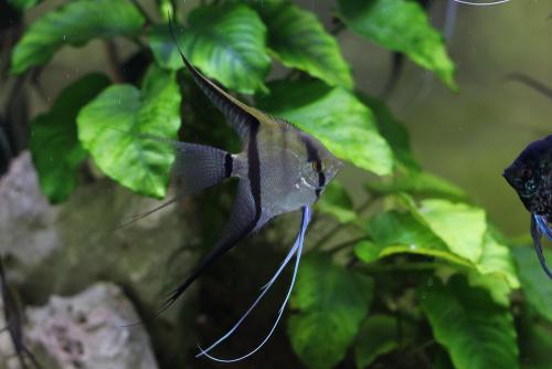 エンゼルフィッシュ 混泳 エビ 金魚