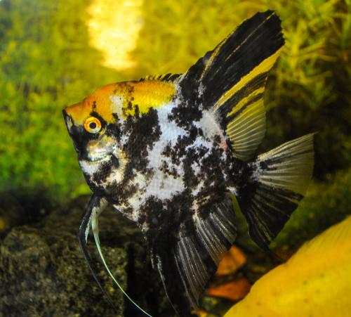 エンゼルフィッシュ 成魚 稚魚 大きさ