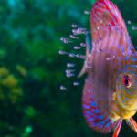 ディスカスの幼魚は成長と共に色が変わる!?