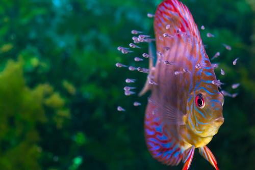 ディスカス 幼魚 成長 色