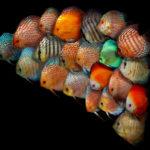 気になる!熱帯魚ワイルドディスカスの種類は?