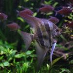 エンゼルフィッシュと混泳出来る相性がいい熱帯魚は!?