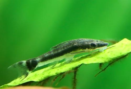 オトシンクルス 水草 おすすめ 食べる