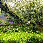 カージナルテトラと混浴飼育できるおすすめの熱帯魚は!?