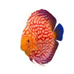 熱帯魚「ディスカス」を英語で!意味や発音について!