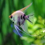 熱帯魚エンゼルフィッシュの種類!何種類いるの?