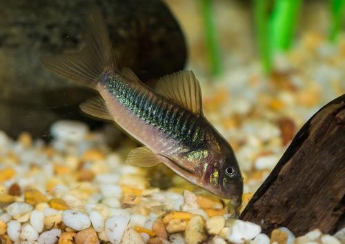 コリドラス 金魚 混泳