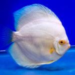 熱帯魚「ディスカス」の飼育!必要な物や餌について!