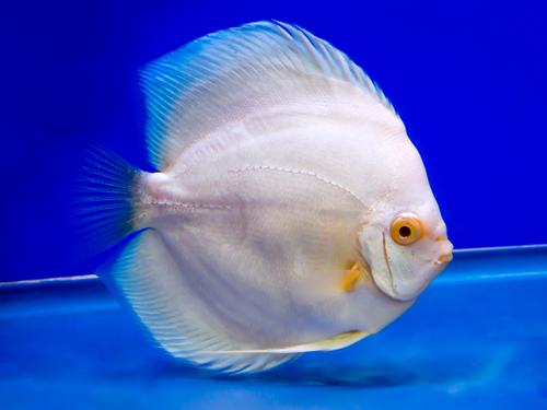 ディスカス 熱帯魚 飼育 餌