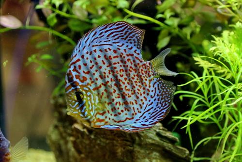 ディスカス 熱帯魚 水草