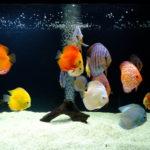 熱帯魚「ディスカス」の価格を知りたい!高いのか!?