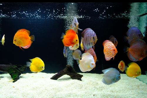 ディスカス 熱帯魚 価格