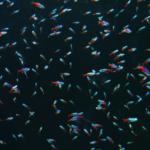 ネオンテトラの繁殖方法!水質や水温はどれくらい?