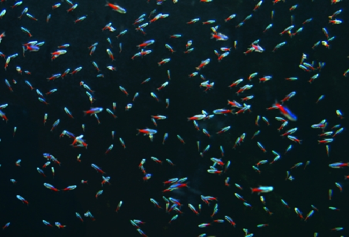 ネオンテトラ 繁殖 水質 水温