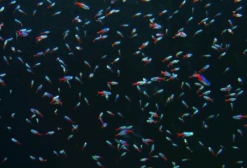 ネオンテトラ 稚魚 餌