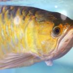 初心者でも大丈夫!熱帯魚アロワナの飼い方について!