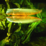 熱帯魚アロワナの人気の種類は?価格をご紹介!