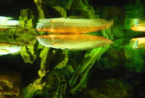 アロワナ熱帯魚 種類 価格