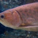 熱帯魚アロワナの平均寿命について!