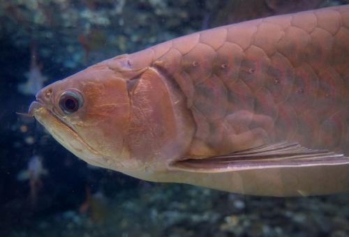 アロワナ熱帯魚 寿命