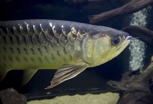 アロワナ 金魚 混泳