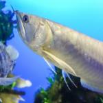 アロワナの混泳!おすすめの熱帯魚ややり方は!?