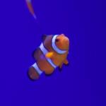 カクレクマノミが水槽の端をずっと泳ぐ!意味は!?