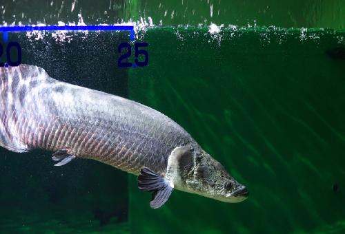 ピラルク 飼育 幼魚 値段