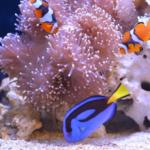 カクレクマノミの混泳!相性がいい海水魚とは?