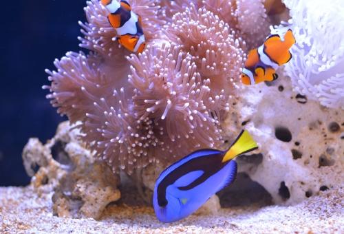 カクレクマノミ 相性 魚