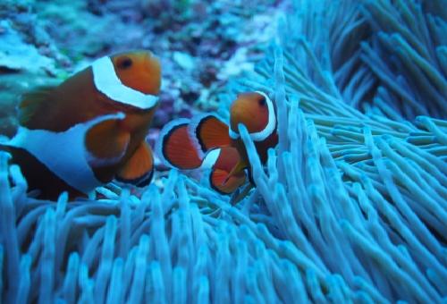 カクレクマノミ 産卵 大きさ 色