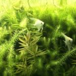 エンゼルフィッシュの産卵時の照明や水草について!