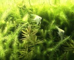 エンゼルフィッシュ 産卵 照明 水草