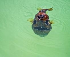 ハリセンボン 魚 飼育