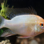 熱帯魚の飼育!ラミレジィの種類についてご紹介!