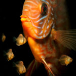 ディスカスの幼魚!成長と共に色が変わる!?