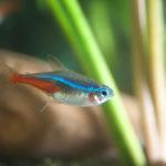 熱帯魚のネオンテトラ!平均寿命は?