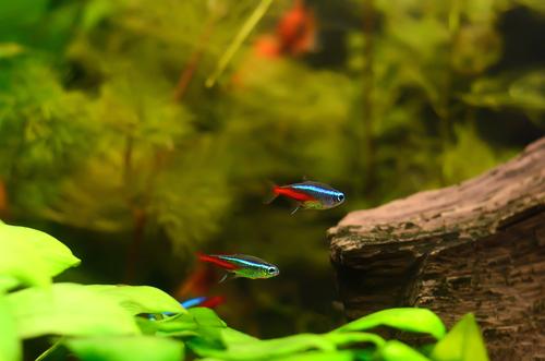 ネオンテトラ 熱帯魚 共食い
