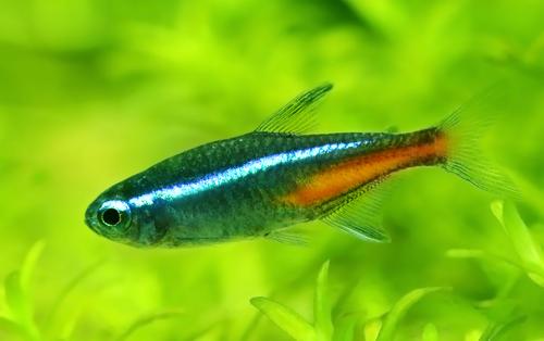 ネオンテトラ 金魚 混泳 餌