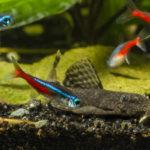 ネオンテトラとミナミヌマエビの混泳!餌や水温は?
