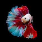 ベタと金魚の違いは?混泳できる?