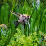 エンゼルフィッシュの稚魚!成長について!